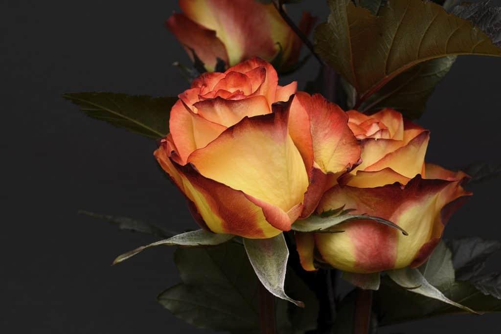 WiP Wednesday: Roses for Jack | Jackie Keswick
